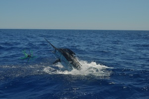 """750# Blue Marlin """"Grander"""""""